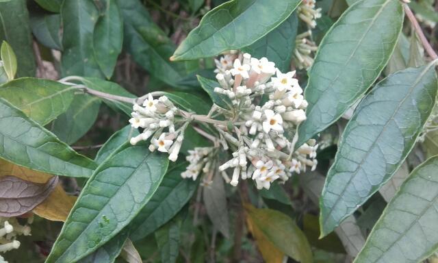 buddleia - Buddleja auriculata Rps20108