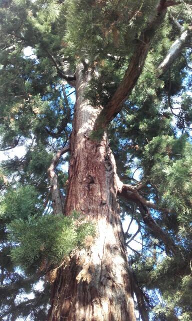 Sequoiadendron giganteum - séquoia géant - Page 3 Rps20112