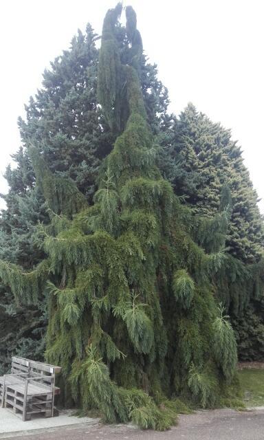 Sequoiadendron giganteum - séquoia géant - Page 3 Rps20114