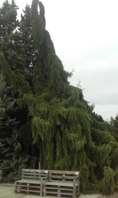 Sequoiadendron giganteum - séquoia géant - Page 3 Rps20118