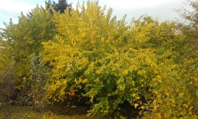 Maclura pomifera - oranger des Osages - Page 3 Rps20129