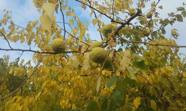 Maclura pomifera - oranger des Osages - Page 3 Rps20130
