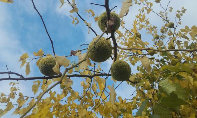 Maclura pomifera - oranger des Osages - Page 3 Rps20131