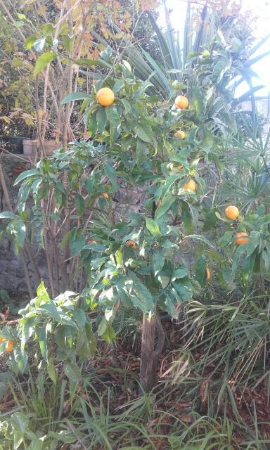Citrus reticulata subsp. unshiu - mandarinier satsuma Rps20141