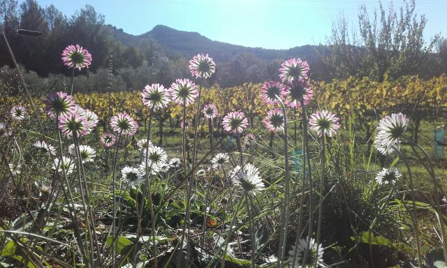 Bellis sylvestris - pâquerette d'automne Rps20146