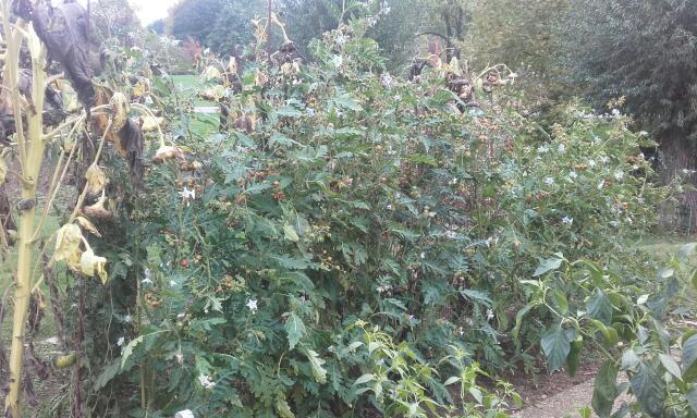 Solanum sisymbriifolium - morelle de Balbis Rps20154