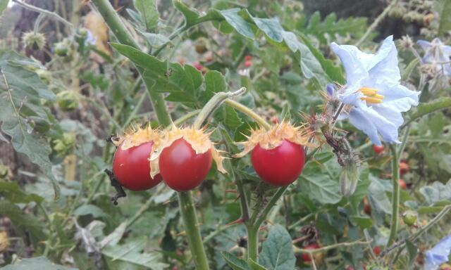 Solanum sisymbriifolium - morelle de Balbis Rps20157