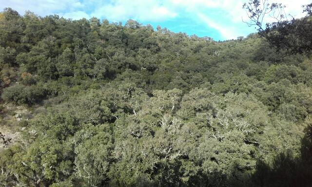 Quercus suber - chêne liège Rps20158