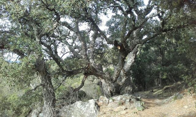 Quercus suber - chêne liège Rps20159