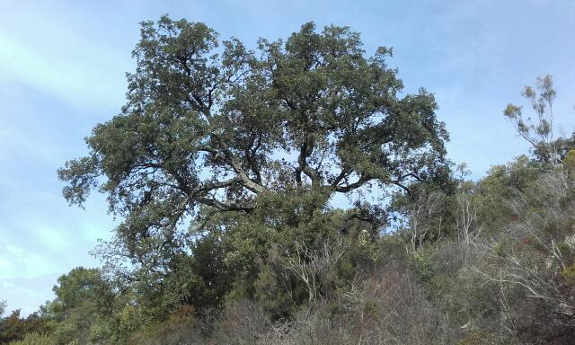 Quercus suber - chêne liège Rps20160