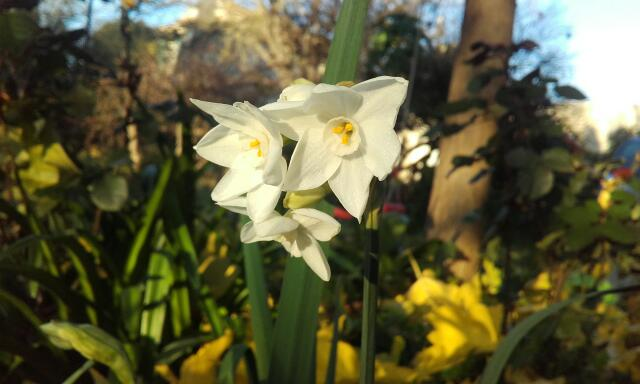 Narcissus - les narcisses - Page 5 Rps20220