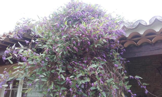 Hardenbergia violacea Rps20242