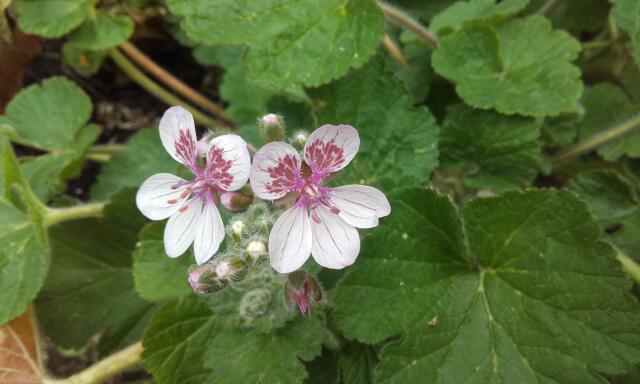 deux ou trois fleurs dans le vent - Page 2 Rps20244