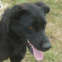 FARCEUR  -  Labrador  9 ans (8 ans de refuge)   -  REFUGE DE  CHATEAUBRIANT  (44) 548_fa10