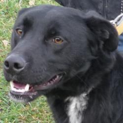FLUOR  -  Labrador noir cravate blanche, 9  ans  (8 ans de refuge) -  REFUGE DE  CHATEAUBRIANT  (44) 594_fl10