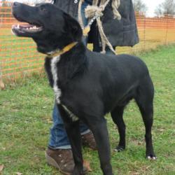 FLUOR  -  Labrador noir cravate blanche, 9  ans  (8 ans de refuge) -  REFUGE DE  CHATEAUBRIANT  (44) 594_fl12