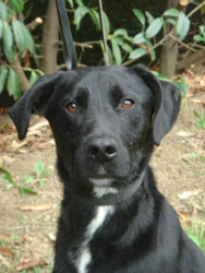 NECRO  -  croisé Labrador noir 10 ans  (8 ans de refuge) -  SPA  DE  CHATEAU  MALO  (35) Necro10