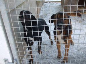 MANZON  -  croisé Labrador  noir/feu 10 ans (7 ans de refuge)    -  LES AMIS DES BETES A MEDIS  (17) Photo_21