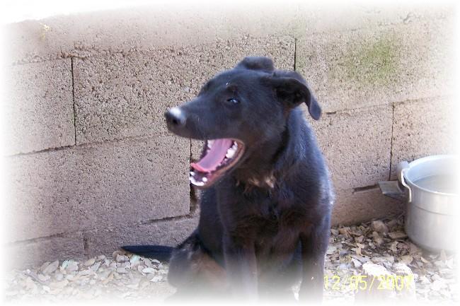 CLIFF  -  x Labrador/berger noir 14 ans (13 ans de refuge) -  AU BONHEUR DES 4 PATTES A  NIMES  (30) Refuge12