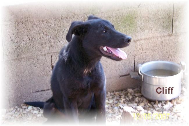CLIFF  -  x Labrador/berger noir 14 ans (13 ans de refuge) -  AU BONHEUR DES 4 PATTES A  NIMES  (30) Refuge13