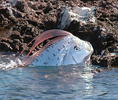 oarfish Oarfis11