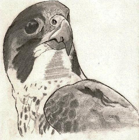 dessins d'animaux Faucon10