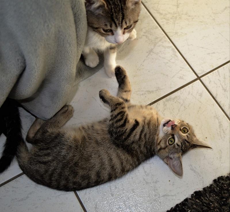 marilou - MARILOU, chatonne tigrée, née début 08/2016 Dsc_0022