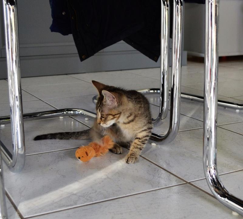 marilou - MARILOU, chatonne tigrée, née début 08/2016 Dsc_0023