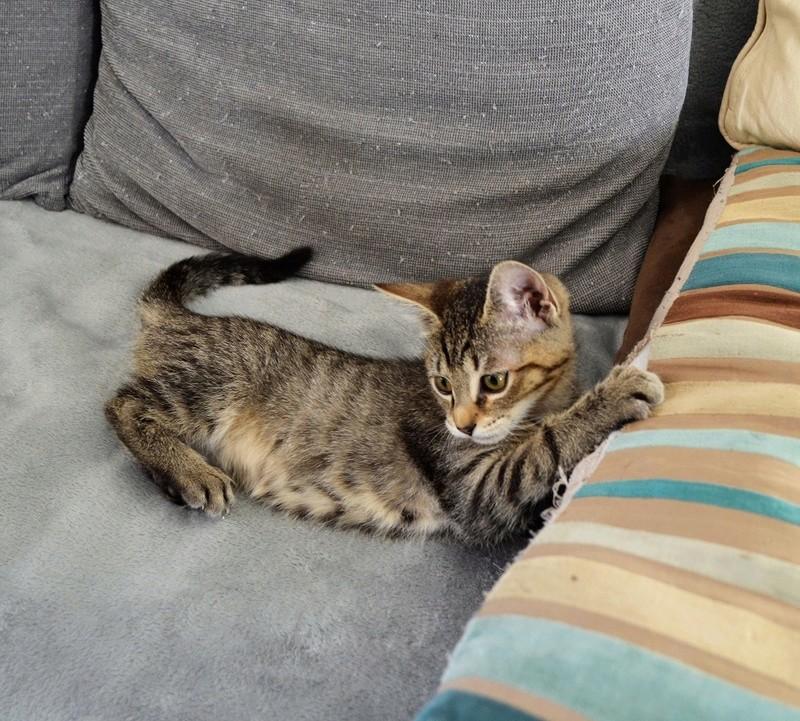 marilou - MARILOU, chatonne tigrée, née début 08/2016 Dsc_0026