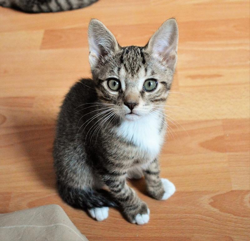 moupy - MOUPY, chaton mâle tigré et blanc, né le 01/09/16 Dsc_0050