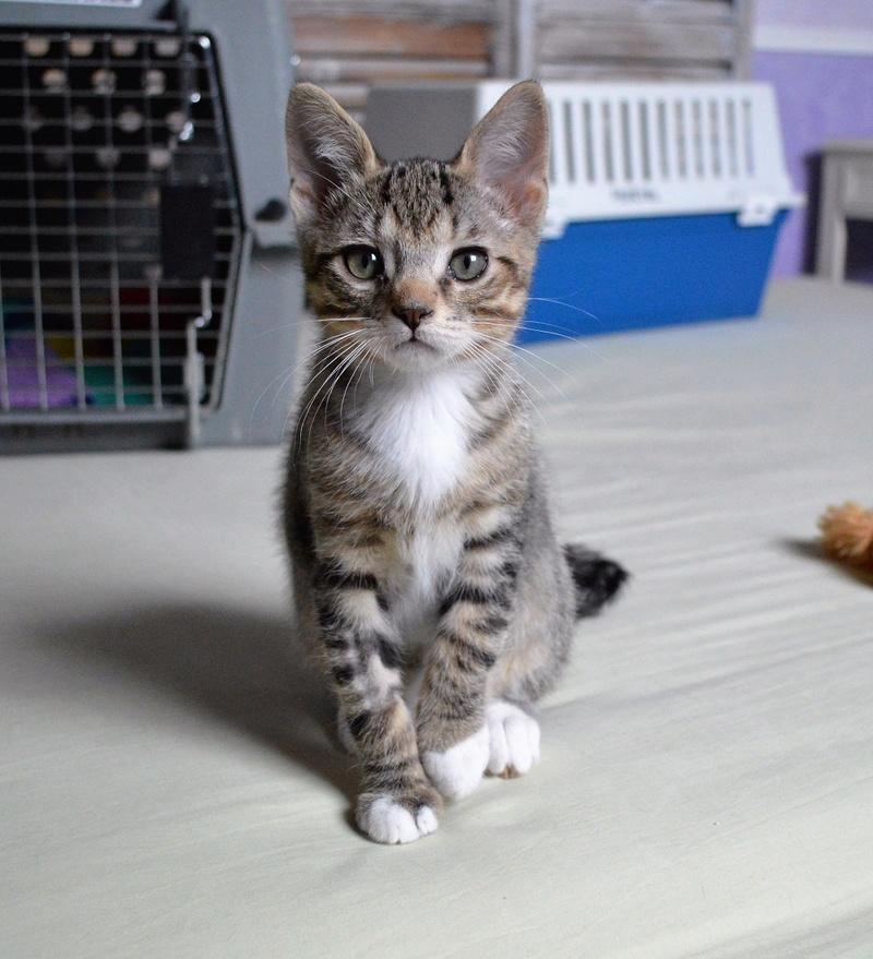 moupy - MOUPY, chaton mâle tigré et blanc, né le 01/09/16 Dsc_0052