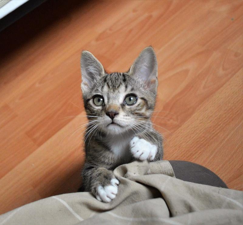 moupy - MOUPY, chaton mâle tigré et blanc, né le 01/09/16 Dsc_0053