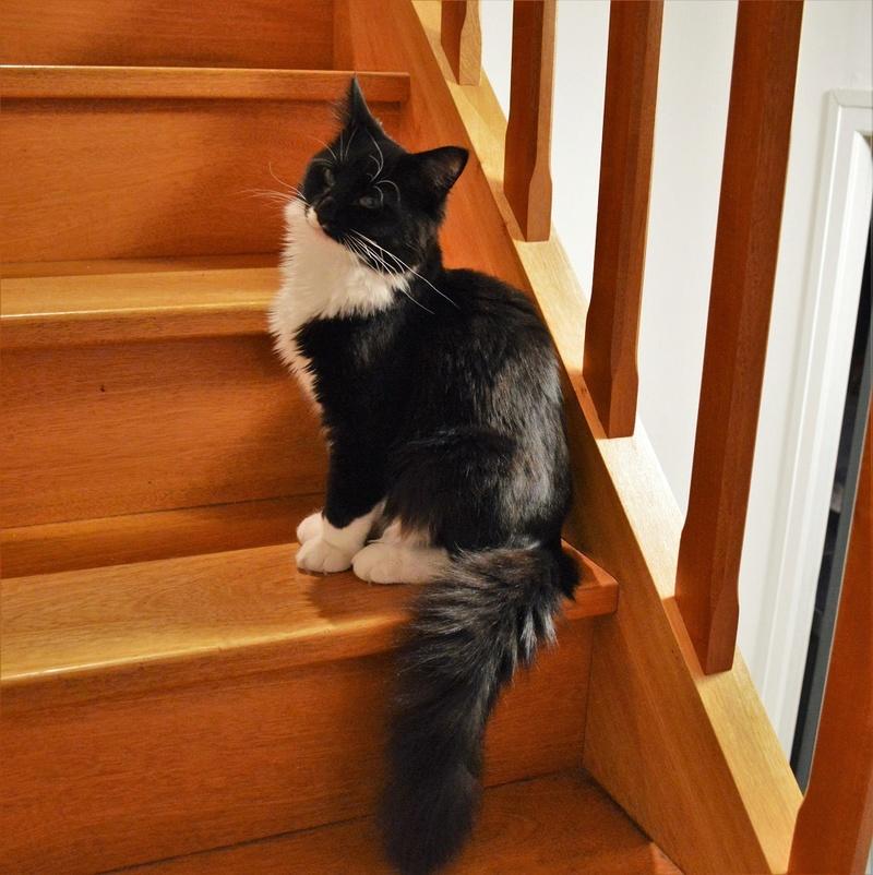 moumousse - MOUMOUSSE, chaton mâle noir et blanc à poils mi longs, né le 05.04.16 Dsc_0110