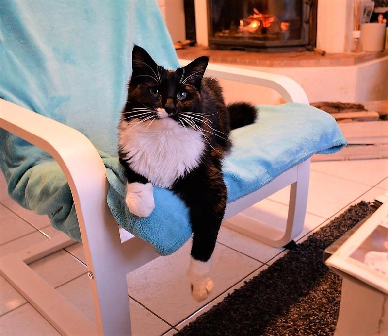 moumousse - MOUMOUSSE, chaton mâle noir et blanc à poils mi longs, né le 05.04.16 Dsc_0115