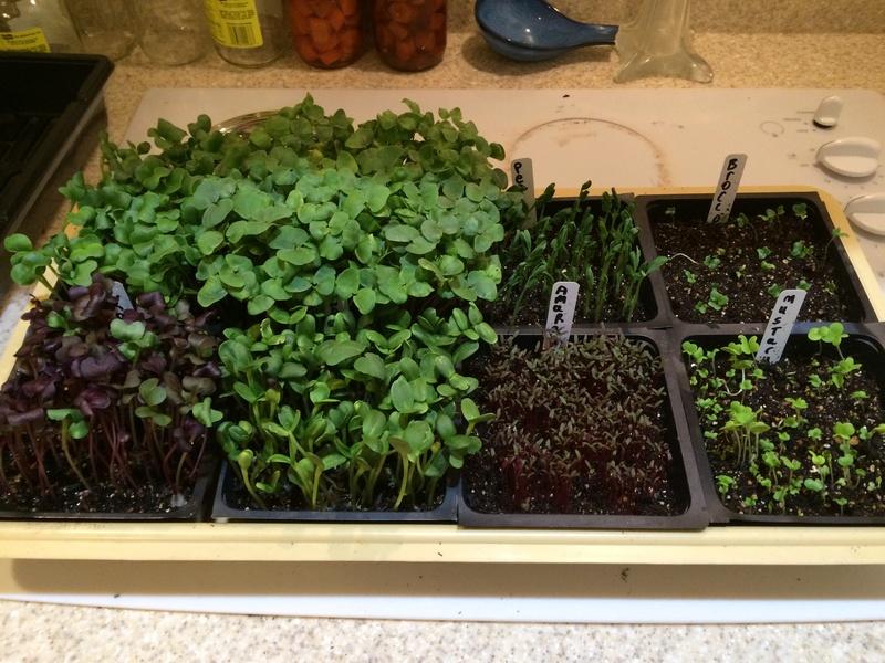 microgreens - Microgreens Gardening - Page 7 Microg12