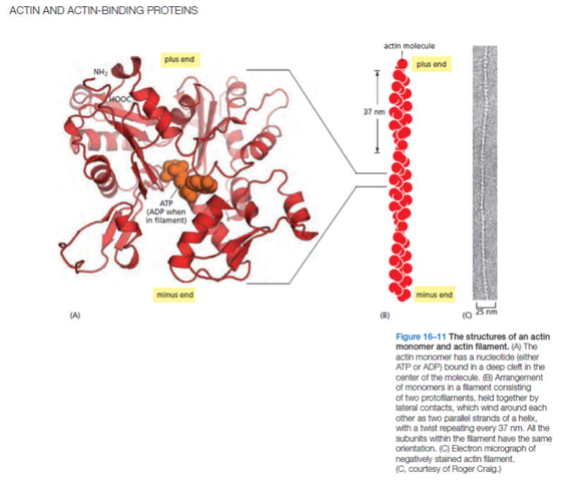 Actin filament assembly , and how its complex engineering process  points to intelligent design 110