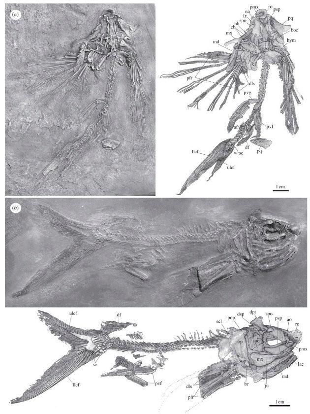 Flying fish, design, or evolution ?  111110