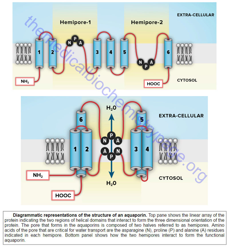 How Cell membrane proteins point to the requirement of planning, intelligence and design for their biosynthesis specific function, and insertion in the cell membrane Aquapo10