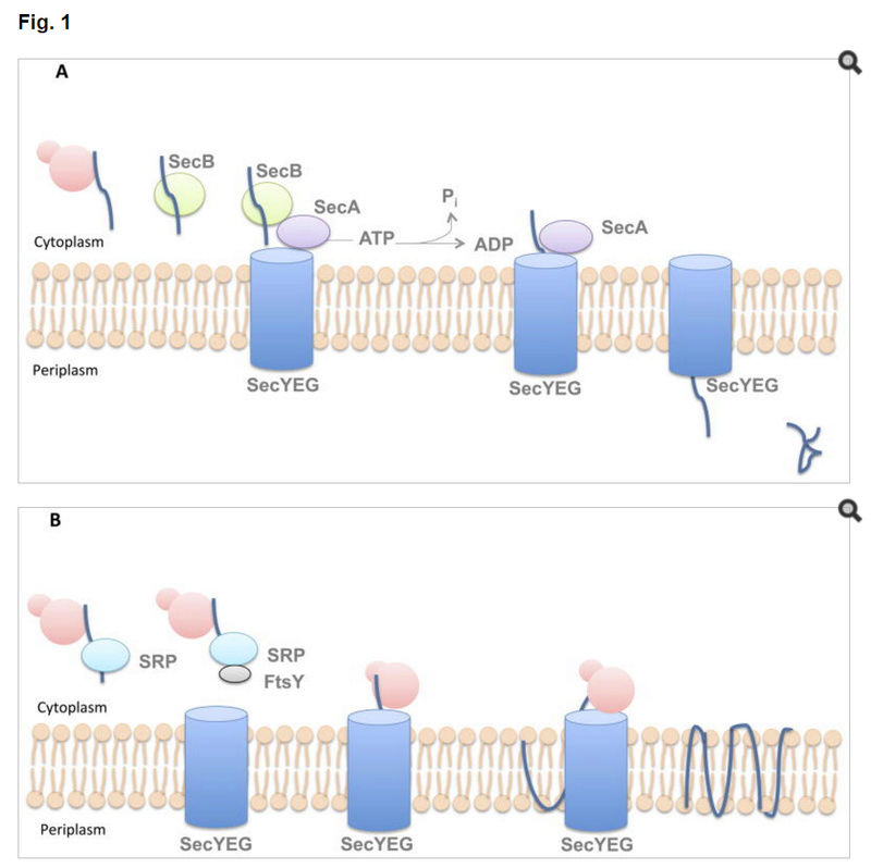Bacterial Secretion Systems Classe10