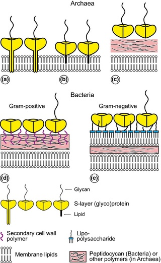 Biosynthesis of the cell membrane Fmr00312
