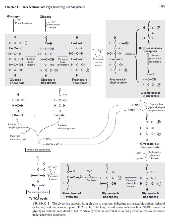 Glycolysis  Glycol10