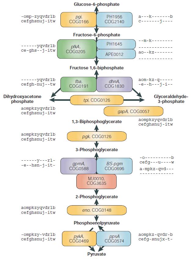 Glycolysis  Glycol12