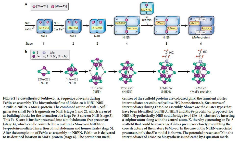 Molybdenum, essential for life Molybd13