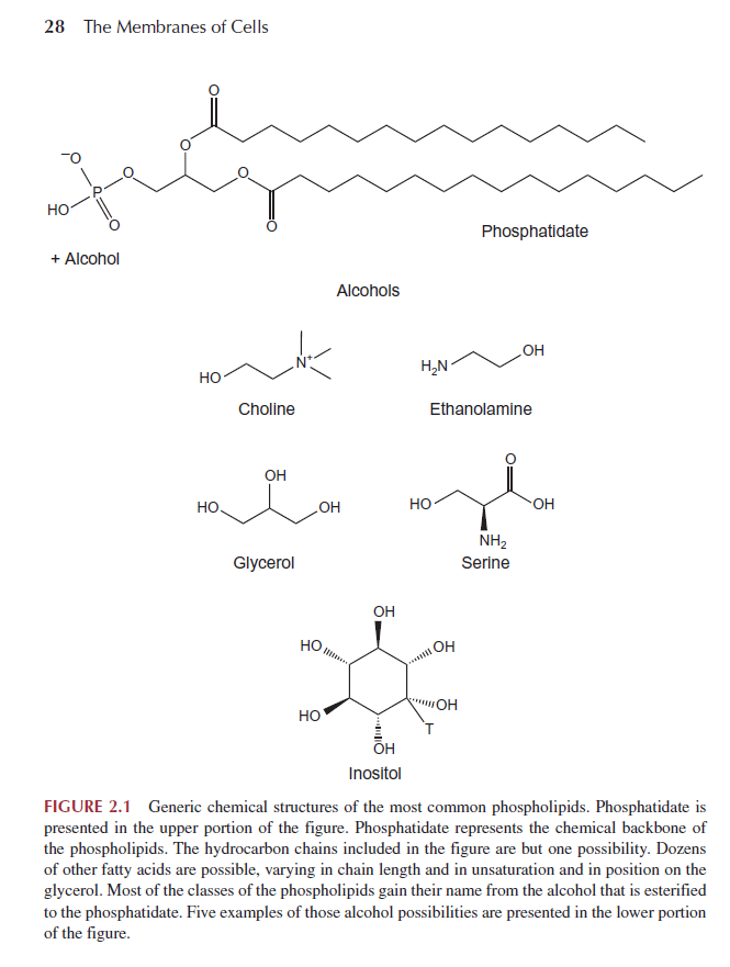 Biosynthesis of the cell membrane Phosph12