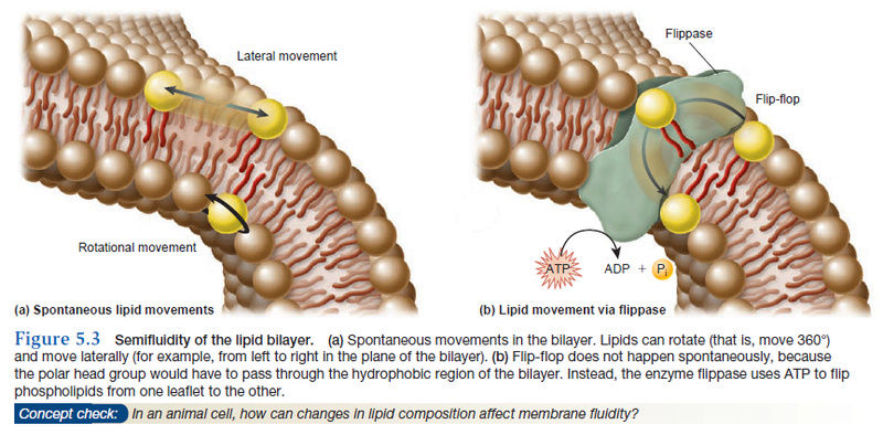 How Cell membrane proteins point to the requirement of planning, intelligence and design for their biosynthesis specific function, and insertion in the cell membrane Semifl10