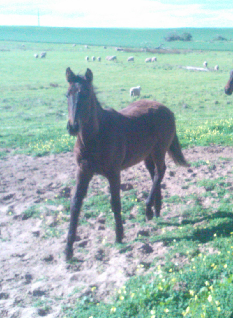 Spanish warmblood filly Wp_00010