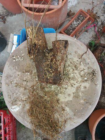 Talee legnose invernali (Giornata da eskimo e doposci) - Pagina 5 Me11