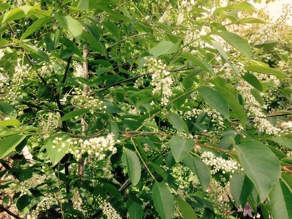 arbuste inconnu :  prunus padus Downlo10