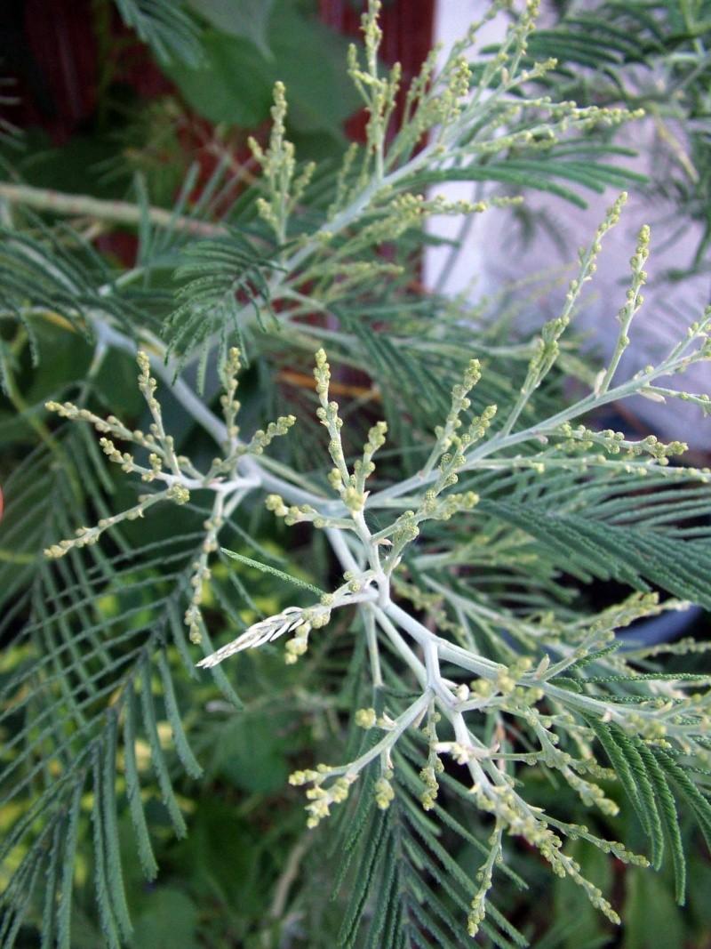 Mimosa/ Acacia dealbata? Acacia10