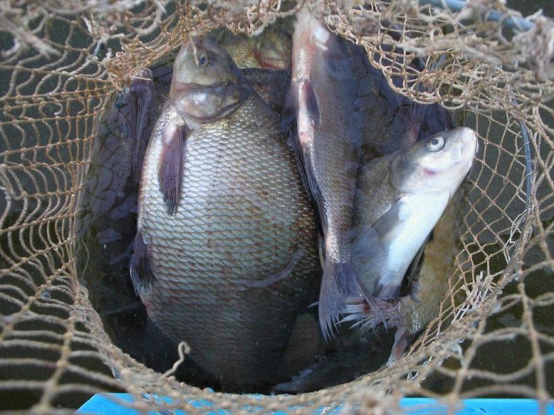 Рыбалка на кольцо. Говорим обо всем! Советы, отчеты, уловы и остальные размышления о рыбе насущной:) Bream10